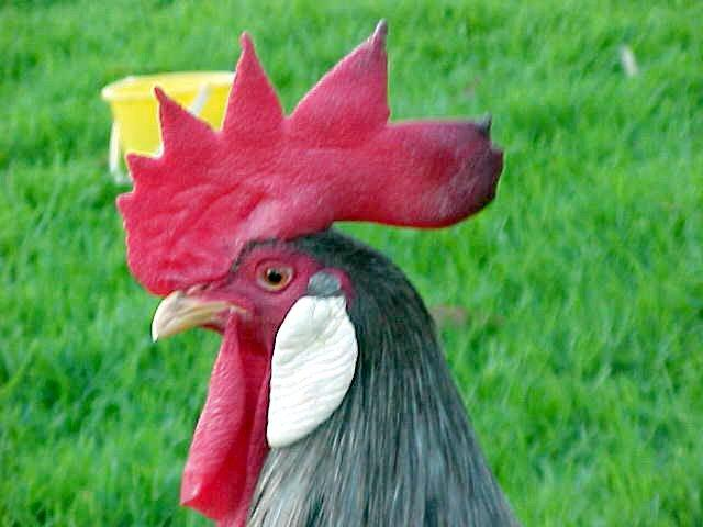 Blue Lge Male (Typical Leghorn Head)